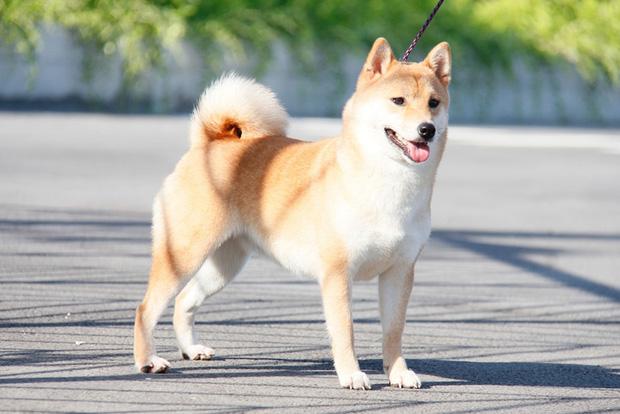 Cậu Vàng tung first look giới thiệu sinh vật lạ: Vẫn là chó Nhật nhưng lông đỏ, hàng siêu hiếm? - Ảnh 6.