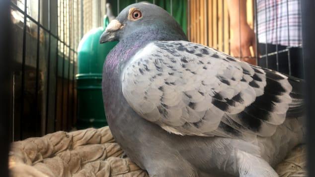 Đại gia giấu mặt bỏ gần 2 triệu USD mua 1 chú chim bồ câu, lý do thực sự mới gây sốc - Ảnh 4.