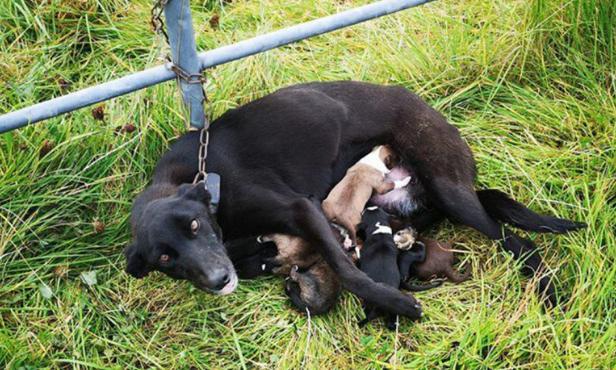 Hình ảnh chó mẹ bị xích nhưng vẫn cố đùm bọc 6 chó con làm lay động cư dân mạng - Ảnh 1.