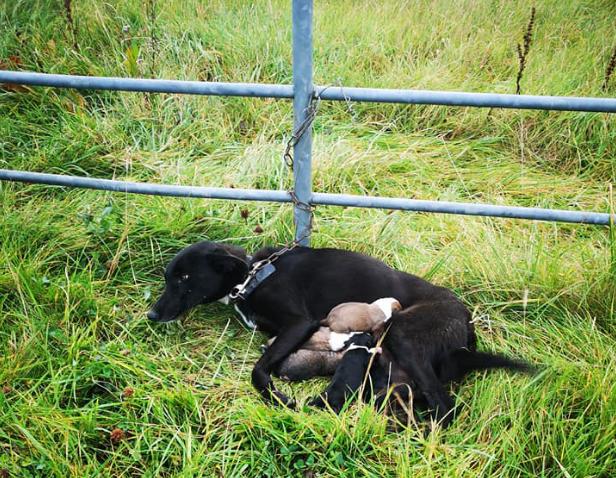 Hình ảnh chó mẹ bị xích nhưng vẫn cố đùm bọc 6 chó con làm lay động cư dân mạng - Ảnh 2.