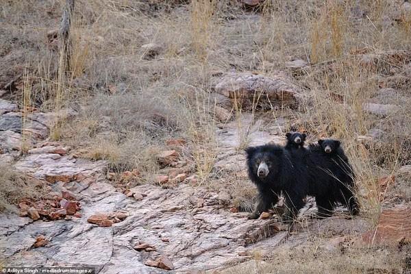 Tử chiến để bảo vệ con, gấu lợn mẹ khiến hổ dữ nhận thất bại vô cùng tủi hổ - Ảnh 1.