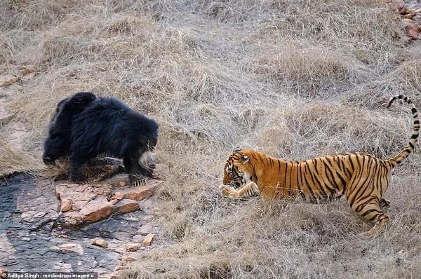 Tử chiến để bảo vệ con, gấu lợn mẹ khiến hổ dữ nhận thất bại vô cùng tủi hổ - Ảnh 2.