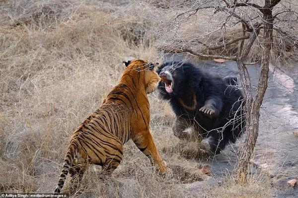 Tử chiến để bảo vệ con, gấu lợn mẹ khiến hổ dữ nhận thất bại vô cùng tủi hổ - Ảnh 3.