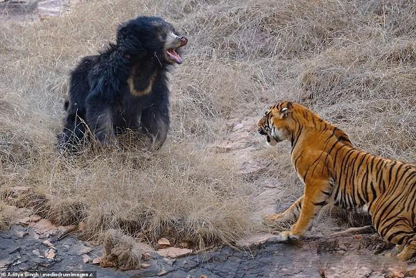Tử chiến để bảo vệ con, gấu lợn mẹ khiến hổ dữ nhận thất bại vô cùng tủi hổ - Ảnh 4.
