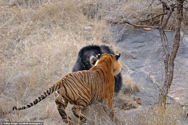 Tử chiến để bảo vệ con, gấu lợn mẹ khiến hổ dữ nhận thất bại vô cùng tủi hổ - Ảnh 5.