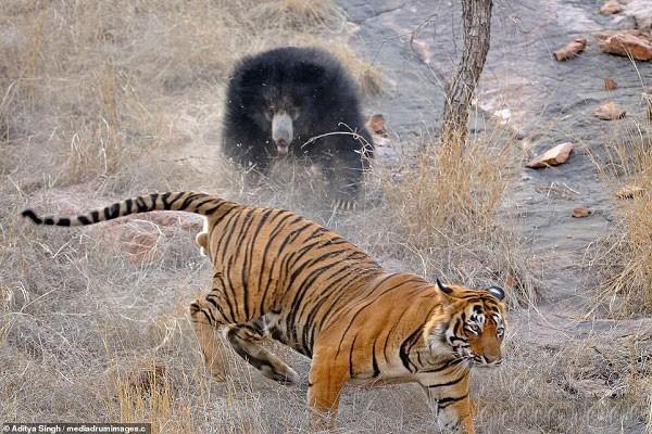 Tử chiến để bảo vệ con, gấu lợn mẹ khiến hổ dữ nhận thất bại vô cùng tủi hổ - Ảnh 6.