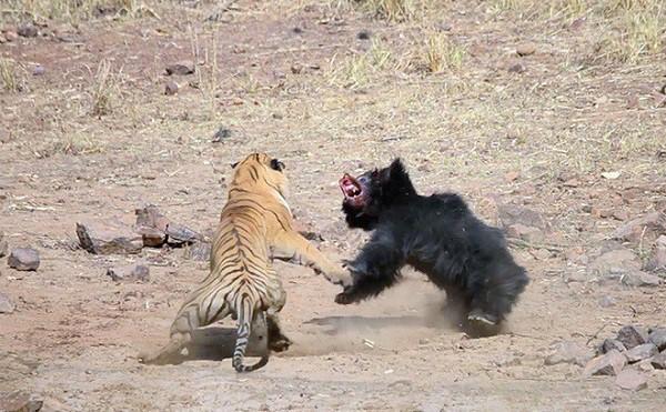 Tử chiến để bảo vệ con, gấu lợn mẹ khiến hổ dữ nhận thất bại vô cùng tủi hổ - Ảnh 8.