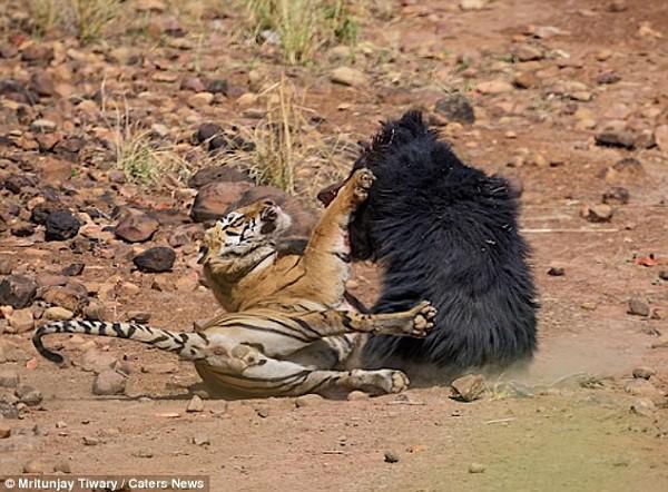 Tử chiến để bảo vệ con, gấu lợn mẹ khiến hổ dữ nhận thất bại vô cùng tủi hổ - Ảnh 9.