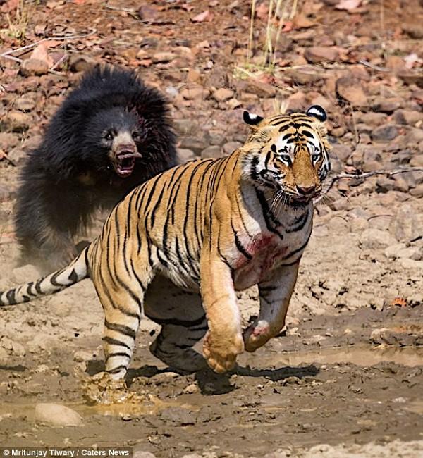 Tử chiến để bảo vệ con, gấu lợn mẹ khiến hổ dữ nhận thất bại vô cùng tủi hổ - Ảnh 10.