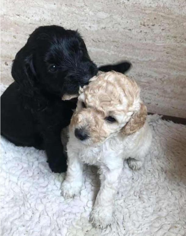 Hai chú poodle ôm chầm lấy nhau khi chạm mặt, dân mạng cảm động khi biết quan hệ của chúng - Ảnh 3.