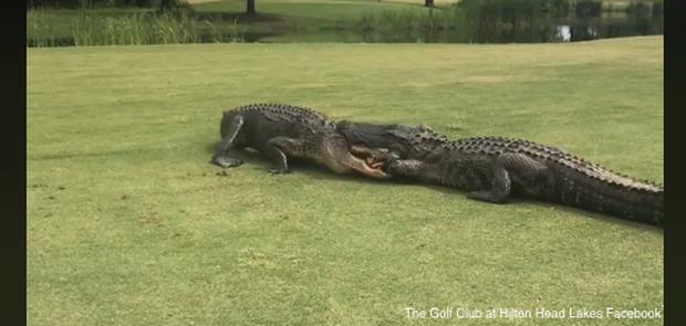 Hai anh cá sấu khổng lồ thản nhiên vật nhau giữa sân golf khiến loài người hết hồn khi chứng kiến cuộc chiến - Ảnh 1.