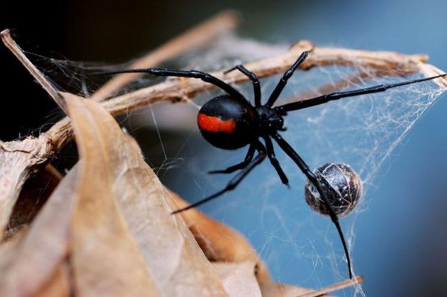 3 anh em tự cho con nhện độc nhất thế giới cắn nhằm biến thành Spider-man - Ảnh 1.