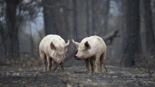 Người La Mã từng dùng lợn lửa để chiến đấu? - Ảnh 4.