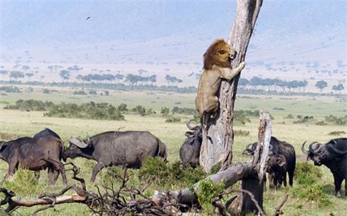 Bị đàn trâu truy sát, sư tử sợ hãi, vội trèo lên cây trốn, biểu cảm khiến cộng đồng mạng không khỏi cười vì sự ngược đời - Ảnh 1.