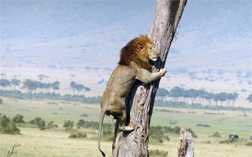 Bị đàn trâu truy sát, sư tử sợ hãi, vội trèo lên cây trốn, biểu cảm khiến cộng đồng mạng không khỏi cười vì sự ngược đời - Ảnh 2.