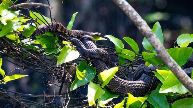 Giải mã bí ẩn: Chuyện hoan lạc của loài rắn thú vị thế nào? (P.1) - Ảnh 2.
