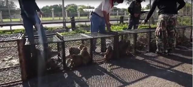 Xót xa chú khỉ con bị bắt cóc khỏi mẹ, hằng ngày phải hái 1.000 trái dừa theo ý chủ - Ảnh 1.