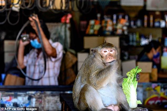 Xót xa chú khỉ con bị bắt cóc khỏi mẹ, hằng ngày phải hái 1.000 trái dừa theo ý chủ - Ảnh 6.