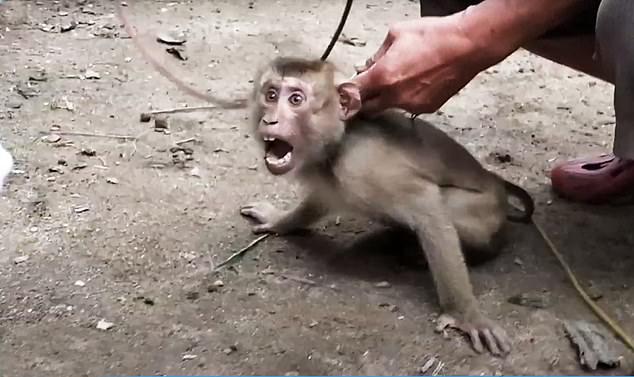 Xót xa chú khỉ con bị bắt cóc khỏi mẹ, hằng ngày phải hái 1.000 trái dừa theo ý chủ - Ảnh 5.