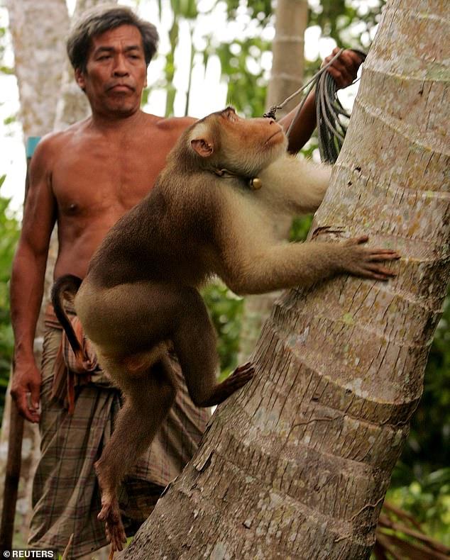 Xót xa chú khỉ con bị bắt cóc khỏi mẹ, hằng ngày phải hái 1.000 trái dừa theo ý chủ - Ảnh 2.