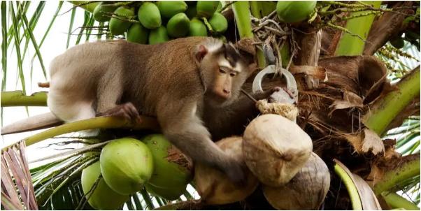 Xót xa chú khỉ con bị bắt cóc khỏi mẹ, hằng ngày phải hái 1.000 trái dừa theo ý chủ - Ảnh 3.