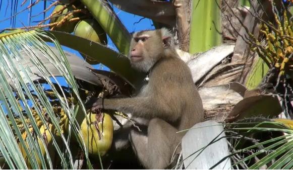 Xót xa chú khỉ con bị bắt cóc khỏi mẹ, hằng ngày phải hái 1.000 trái dừa theo ý chủ - Ảnh 4.