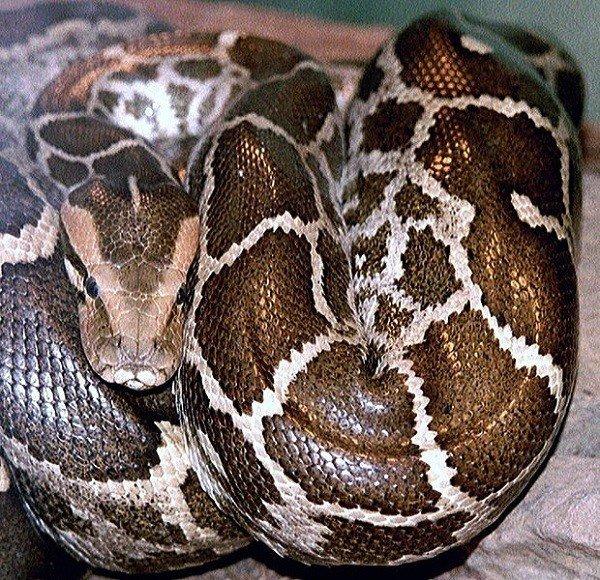 Những loài trăn khổng lồ đạt kỷ lục thế giới Trankhonglo5-16098200197922120296820