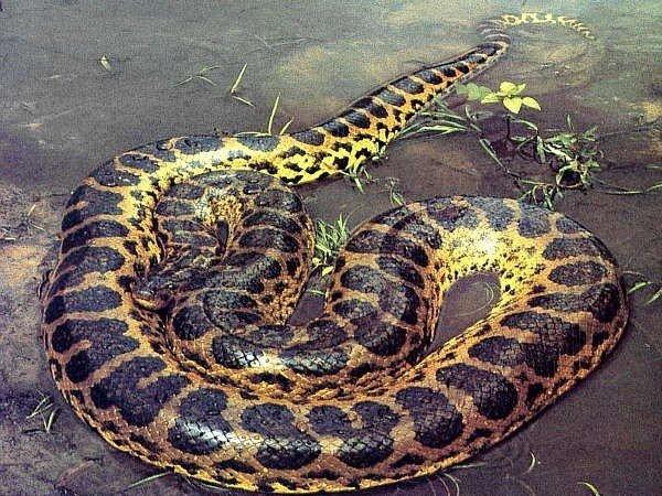 Những loài trăn khổng lồ đạt kỷ lục thế giới Trankhonglo8-1609820082936743944377