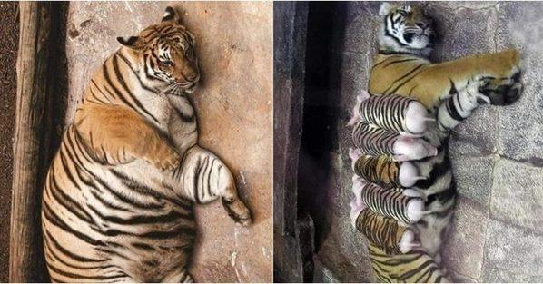 Hổ con yểu mệnh, nhân viên vườn thú thả lợn con vào an ủi hổ mẹ xoa dịu nỗi đau - Ảnh 1.