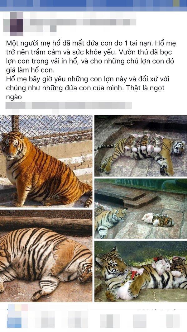 Hổ con yểu mệnh, nhân viên vườn thú thả lợn con vào an ủi hổ mẹ xoa dịu nỗi đau - Ảnh 2.