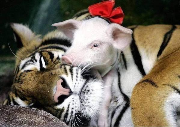 Hổ con yểu mệnh, nhân viên vườn thú thả lợn con vào an ủi hổ mẹ xoa dịu nỗi đau - Ảnh 7.