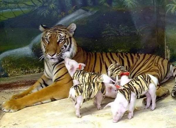 Hổ con yểu mệnh, nhân viên vườn thú thả lợn con vào an ủi hổ mẹ xoa dịu nỗi đau - Ảnh 5.