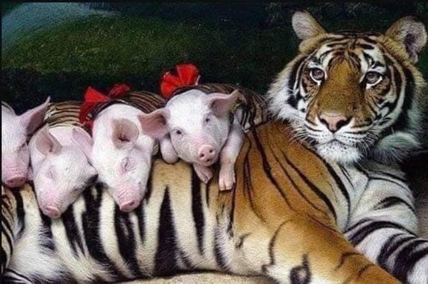 Hổ con yểu mệnh, nhân viên vườn thú thả lợn con vào an ủi hổ mẹ xoa dịu nỗi đau - Ảnh 6.