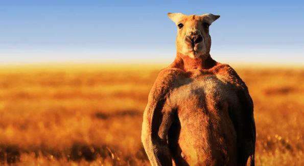 Úc: Con kangaroo vạm vỡ cao 1m8 ngang nhiên vào thị trấn phá nát 1 khu vườn, cà khịa 3 người và đánh trọng thương cụ bà lớn tuổi - Ảnh 1.