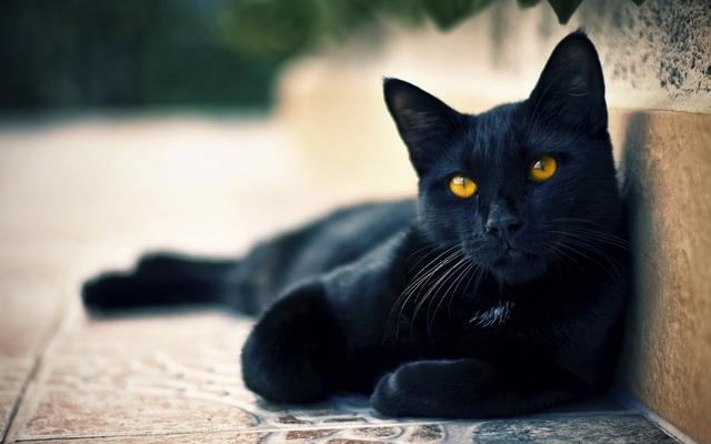 Các truyền thuyết kỳ quái về mèo đen - Ảnh 1.