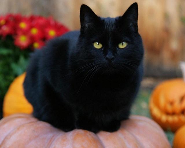 Các truyền thuyết kỳ quái về mèo đen - Ảnh 3.