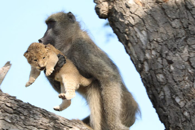 Lion King đời thực là đây: Chú khỉ đầu chó vừa leo trèo vừa bế sư tử con, quyết không buông tay - Ảnh 2.