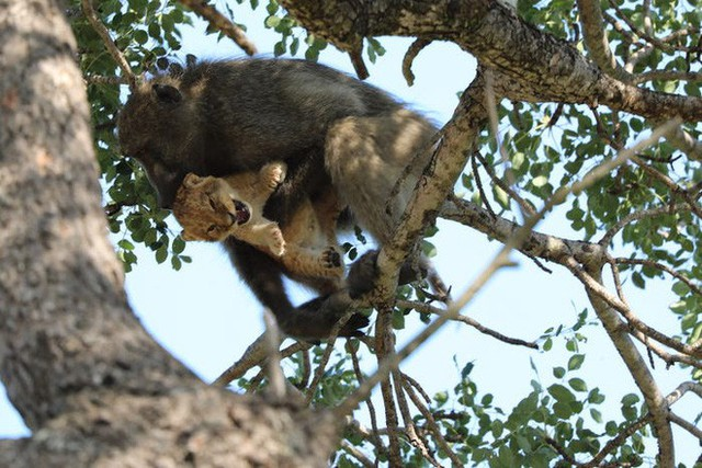 Lion King đời thực là đây: Chú khỉ đầu chó vừa leo trèo vừa bế sư tử con, quyết không buông tay - Ảnh 3.