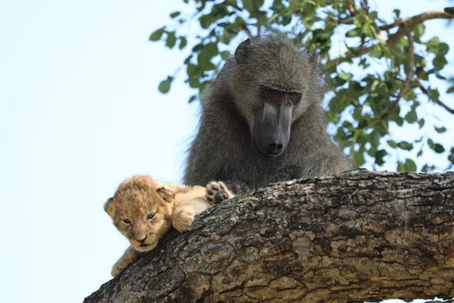 Lion King đời thực là đây: Chú khỉ đầu chó vừa leo trèo vừa bế sư tử con, quyết không buông tay - Ảnh 4.