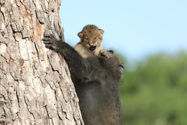Lion King đời thực là đây: Chú khỉ đầu chó vừa leo trèo vừa bế sư tử con, quyết không buông tay - Ảnh 5.