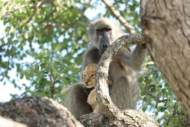 Lion King đời thực là đây: Chú khỉ đầu chó vừa leo trèo vừa bế sư tử con, quyết không buông tay - Ảnh 6.
