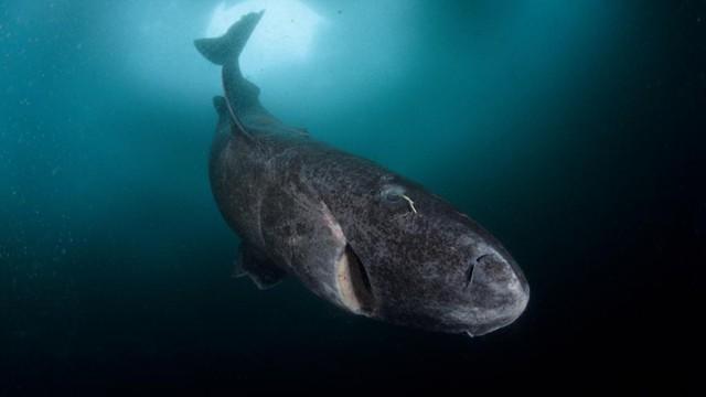 Cá mập Greenland: Chìa khóa cho sự trường thọ của nhân loại trong tương lai? - Ảnh 1.