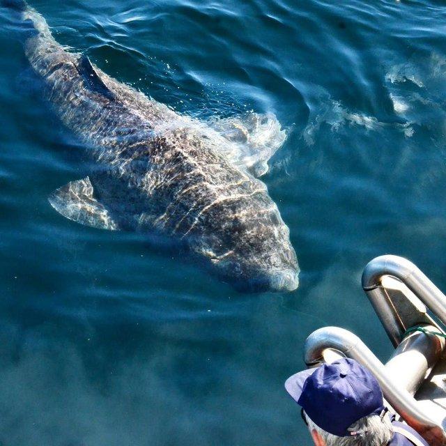 Cá mập Greenland: Chìa khóa cho sự trường thọ của nhân loại trong tương lai? - Ảnh 2.