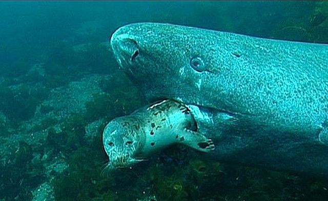 Cá mập Greenland: Chìa khóa cho sự trường thọ của nhân loại trong tương lai? - Ảnh 3.
