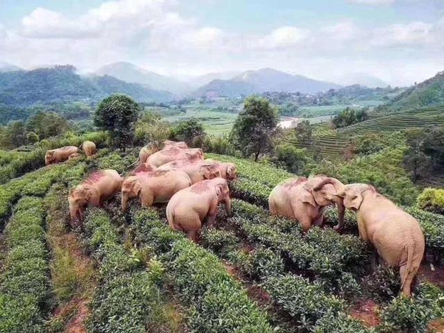 Thực hư câu chuyện đàn voi đột nhập vào ngôi làng để kiếm ăn nhưng uống nhầm 30kg rượu ngô rồi say bét nhè - Ảnh 2.