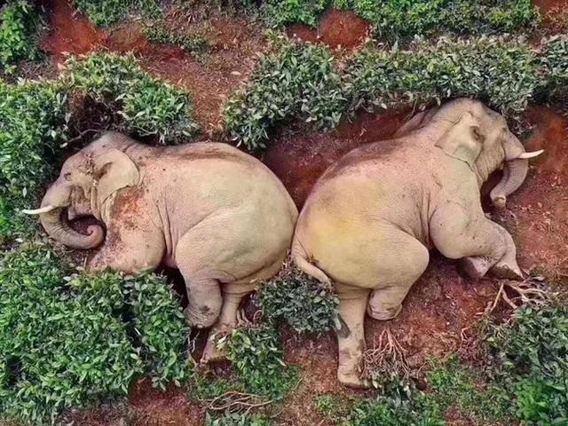 Thực hư câu chuyện đàn voi đột nhập vào ngôi làng để kiếm ăn nhưng uống nhầm 30kg rượu ngô rồi say bét nhè - Ảnh 3.