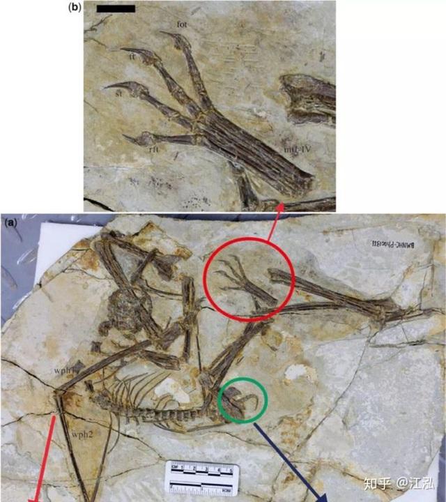 Luôn treo mình lộn ngược trên cây như loài dơi, đây nhất định là loài thằn lằn bay cổ đại kỳ lạ nhất từng tồn tại ở Trung Quốc Photo-5-1583686829483579210834