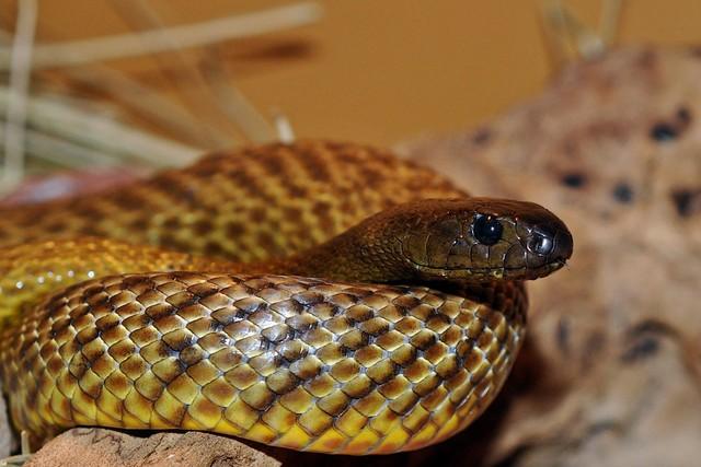 Top 6 loài rắn bạn cần phải tránh nếu không muốn thăng thiên (P. 2) - Ảnh 1.