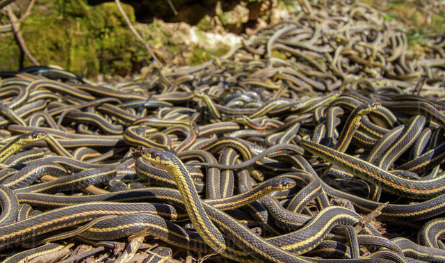 Top 5 điều thú vị về loài rắn, điều cuối sẽ khiến bất cứ ai cũng bị ám ảnh - Ảnh 4.