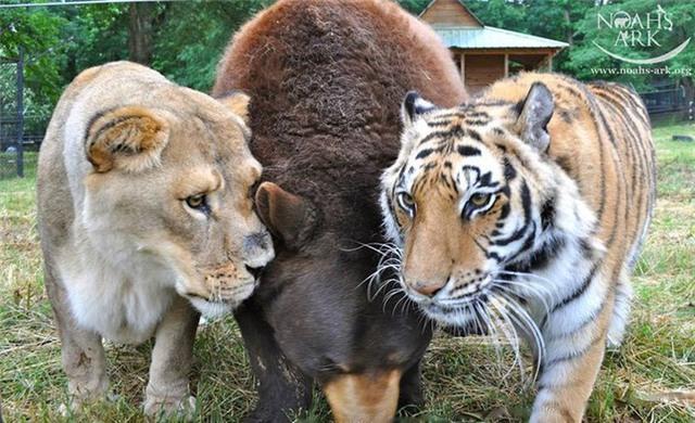 Gấu, sư tử và hổ hợp thành bộ ba tri kỷ ngoài đời thực, cộng đồng mạng ngạc nhiên, không dám tin vào mắt - Ảnh 1.